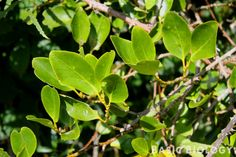 Grisilinia leaves Seaside, Plant Leaves, Exotic, Landscaping, Trees, Garden, Plants, Garten, Beach