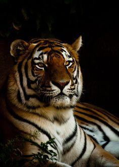 Tigre Joshua Arlington