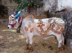INDIA: Sacred Cow - Krishna must be near