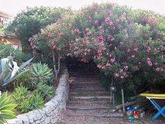 mediterrán vidékek leanderei - Képtár - G-Portál