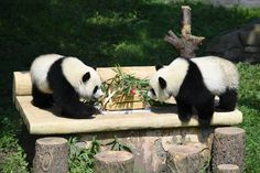 Panda twins Yo Bao and Yu Bei looking at the one-year birthday cake.