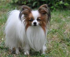 Papillon Dog Breed Information and 30+ Cute Pictures