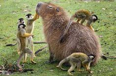 Capivara recebe afagos dos macacos. Convivência pacífica.