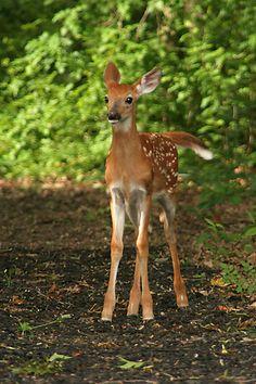 Sweet baby deer (fawn) standing.