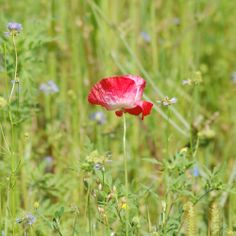Picture of Red Poppy in Meadow
