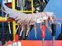 "Yard-Long Undersea Bug Terrorizes Robo-Sub, Internet. (90 cm lång ""djuphavsgråsugga"")"