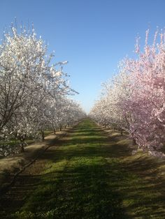 Almond Tree Orchard in Bakersfield Ca.