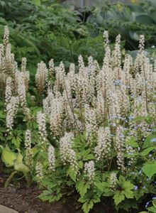 Image result for TIARELLA `JADE PEACOCK`