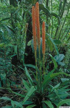 Lepidogyne longifolia - Plant in flower in situ