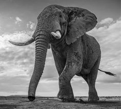 Giant's Kingdom - This image is the product of my signature style of elephant photography I see no better way of capturing the enormity of a big male than with a wider angle lens on a ground positioned camera body with remote radio transmitter links. Elephant Man, World Elephant Day, Asian Elephant, Elephant Photography, Wildlife Photography, Animal Photography, Beautiful Creatures, Animals Beautiful, Cute Animals