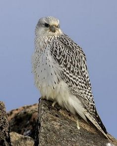 Gyrfalcon.  The largest falcon. The falcon is the fastest creature on earth.  It has been clocked at speeds over 200 mph when in a freefall dive.