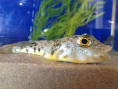northern puffer Barnegat Bay, Dolphins, Fish, Touch, Pets, Animals, Animales, Animaux, Pisces