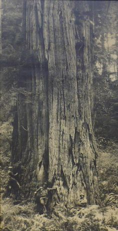 """The """"Crannell Giant"""", a redwood tree, is thought to have been the largest living organism on Earth before it was logged in 1926."""