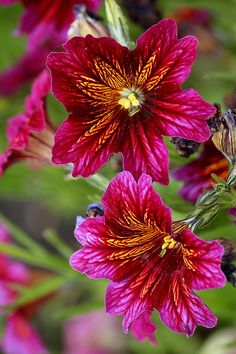 *SALPIGLOSSIS ~ Bearded Tongue