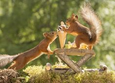 close up of  red squirrels eating a ice cream at a table