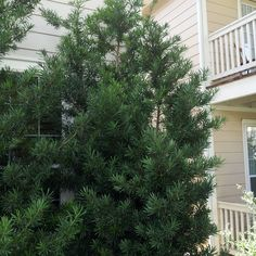 cupressus sempervirens glauca lambley nursery client. Black Bedroom Furniture Sets. Home Design Ideas