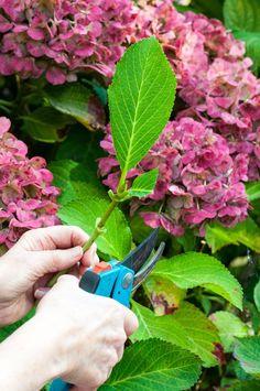 Reduce Leaf Count of Hydrangea Cuttings
