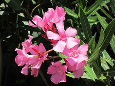 "Maale Adumim, Israel - Public Landscaping, 06 neighborhood (צמח השדה), oleander ""harduf"" (הרדוף), CAUTION: POISONOUS plant - do not touch or ingest the leaves or flowers"