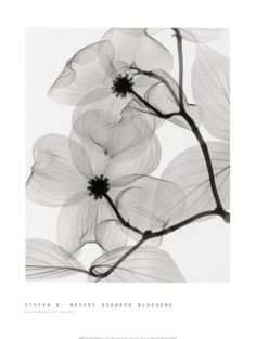 Dogwood Blossoms by Steven N. Meyers  x-ray photography