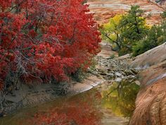 """""""Red maple leaves and gold on a cottonwood announce the arrival of #fall in the pink sandstone canyons of Zion National Park in #Utah."""""""