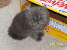 Teacup Persian Cat