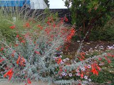 California Native | Zauschneria Catalina, a California Fuchsia from the channel islands in a garden in San Luis Obispo.