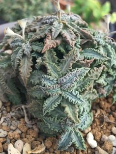 Euphorbia tulearensis is a small, succulent plant up to 8 inches cm) tall. Blooming Succulents, Small Succulent Plants, Succulent Terrarium, Cacti And Succulents, Planting Succulents, Cactus Plants, Garden Plants, House Plants, Garden Plant Stand