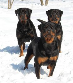 "Acquire excellent tips on ""rottweiler puppies"". They are on call for you on our site. Rottweiler Breed, Rottweiler Love, Big Dogs, I Love Dogs, Cute Dogs, Beautiful Dogs, Animals Beautiful, Cute Animals, Australian Shepherds"