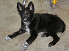 Johnny is a Blue Heeler/Border Collie mix. He was born on June 12, 2013. Johnny will be between 40 and 45 lbs when fully grown.Johnny will need an owner willing to work not only his body, but his mind. He will need a good deal of stimulation and...