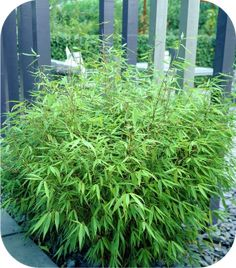 You can find Pair of Fargesia 'Fountain' Bamboo plants in pots tall on our partner's website YouGarden. You will find it in the category Instant Impact Plants Dwarf Bamboo, Bamboo Hedge, Fargesia Robusta, Clumping Bamboo, Decoration Plante, Bamboo Crafts, Urban Setting, Tall Plants, Woods