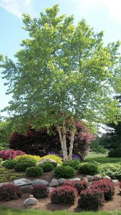 Beautiful tree - pest and deer resistant zone 4-8