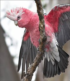 GALAH-I love Galah's, Australian birds that fly thru the sky in bright pink waves of colour & swing like circus clowns in Gum trees. Description from pinterest.com. I searched for this on bing.com/images