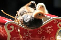 The Night Before Christmas- with chickens!