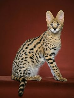 Savannah   Gatos de Raça   TUDO GATO - Pra quem é curioso como eles...