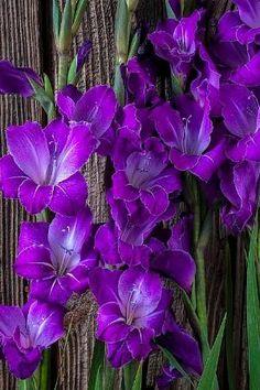 Purple Gladiolus by yvette
