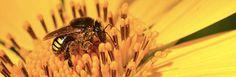 LINK http://www5.usp.br/90037/criacao-de-abelhas-nativas-pode-contribuir-com-desenvolvimento-sustentavel/  A criação de abelhas nativas, também chamada de meliponicultura, gera renda a comunidades rurais, reduz a necessidade de explorar outros recursos naturais e cria incentivos para proteger o meio ambiente.  Além disso, a meliponicultura contribui com a preservação das abelhas nativas e dos serviços de polinização que elas fornecem, fundamentais para garantir a produtividade de muitas…