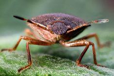 Shield Bug by Barry Lloyd, via Flickr; (stink bug mo' effer!)