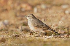 mis fotos de aves:    Caminera colorada [Geositta rufipennis] Rufous-...