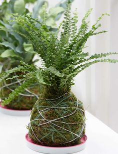 Alys Fowler: the day I lost my heart to a miniature kokedama pine | Gardens