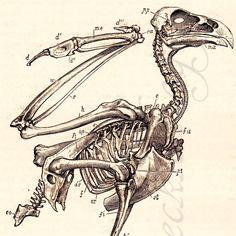 Eagle skeleton