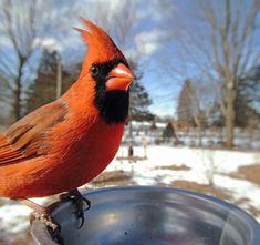Woman Sets Up A Feeder Cam In Her Yard And The Photos Are Extraordinary (30 New Pics) Streams In The Desert, Funny Expressions, Northern Cardinal, Exotic Birds, Wild Birds, Happy Weekend, Camera Photography, Belle Photo, Great Photos