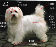 The characteristics of a Havanese