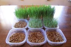Wheat and barley grain work well for fodder. Black oil sunflower seeds can also be used. Oats tend to get moldy in trays. For good germination purchase fresh grain and make sure it hasn't been. Bunny Cages, Rabbit Cages, Rabbit Toys, Meat Rabbits, Raising Rabbits, Homemade Rabbit Treats, Diy Bunny Toys, Diy Toys For Rabbits, Rabbit Farm