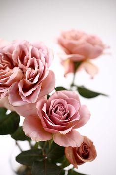 Image result for cafe latte rose