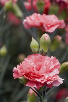The French love carnations' scent, and extracting the flower's oils for perfume and skin cream. Flower Oil, My Flower, Flower Power, Carnation Drawing, Carnation Plants, Floral Design Classes, Dried Flower Bouquet, Pink Carnations, Birth Flowers