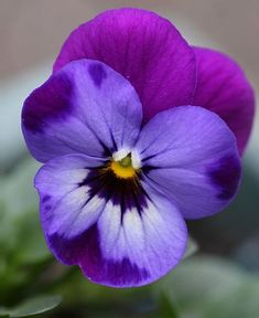 This month's Garden Flowers post features violas. Now that autumn is here in the UK, violas are the perfect antidote to add a pop of colour to our fading gardens. Colorful Flowers, Purple Flowers, Beautiful Flowers, Edible Flowers, Winter Flowers, Rose Flowers, Small Flowers, Paper Flowers, Wedding Flowers