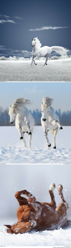 Horses & More Horses enjoying playing in the snow. White stunning horses!