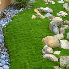 Sagina subulata spreads rapidly to form a tight-matted carpet. This moss-like shade groundcover reaches only 1 tall and 15 wide. The soft, cushiony green mat of Irish Moss is covered with 100 Moss Garden, Garden Paths, Succulents Garden, Full Shade Flowers, White Flowers, Full Shade Plants, Irish Moss Ground Cover, Moss Lawn, Moss Grass