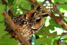 ♥ Long-Eared Owl ♥