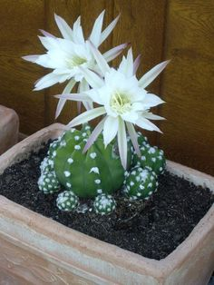 Cactus House Plants, Cactus Terrarium, Succulent Bonsai, Succulent Gardening, Cacti And Succulents, Planting Succulents, Planting Flowers, Cactus Art, Indoor Cactus